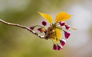 blomma: röd sakura körsbärsblommaknopp Yuyuantan trädgård beijing Kina