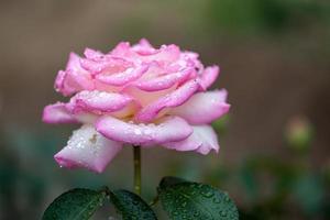 blomma: närbild rosa kinesisk rosblom isolerad peking, Kina foto
