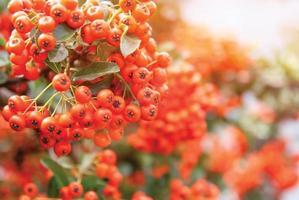 Viburnum bär mognar på busken, grunt skärpedjup foto