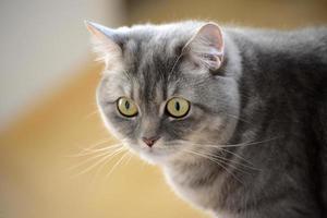 porträtt av brittisk katt foto