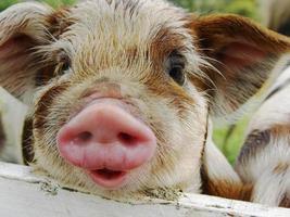 den här lilla grisen .... foto