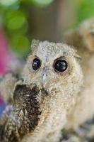 närbild av en baby tawny uggla