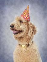 hund som bär festhatt foto