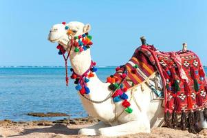vit kamel som vilar på den egyptiska stranden. camelus dromedarius foto