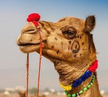 dekorerad kamel på pushkar-mässan. rajasthan, Indien foto