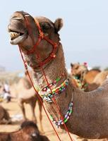 dekorerad kamel på pushkar-mässan. rajasthan, Indien. foto