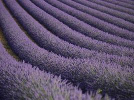 lavendelfält i valensole, Frankrike foto