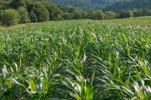 landskap - majsfält nära skogen foto
