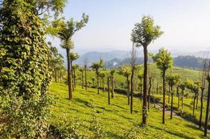 teplantager i munnarbergen foto