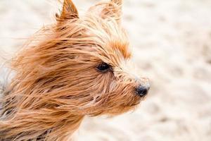 yorkshire terrier på stranden foto