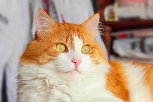 majestätisk röd katt foto