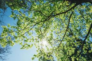 solig tak av höga träd. solljus i lövskog, sommar