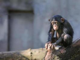 liten schimpans i djupa tankar eller meditation foto