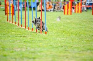 agility slalom foto