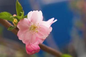 körsbärsblomma foto
