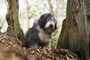 vacker ledsen skäggig colliehund gammal engelsk hundhundvalp foto