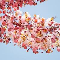 önskar träd, rosa showe, cassia bakeriana craib foto