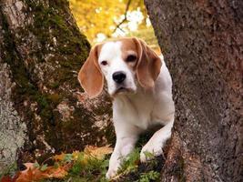 beagle gömmer sig bakom trädet foto