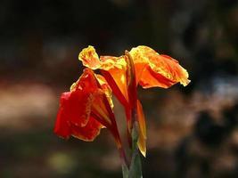 indisk kort blomma foto