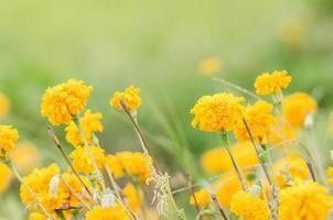 ringblommor eller tagetes erecta blomma foto
