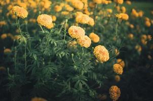 ringblommor eller tagetes erecta blommatappning foto
