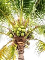 grön massa kokosnöt på palmträdet.