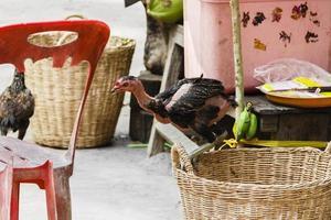 frittgående kyckling foto