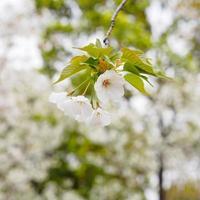 vacker körsbärsblomma, rosa sakura blommor foto
