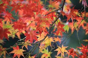 höst röda blad i japan kyoto