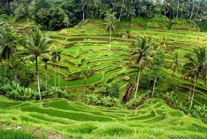 risfält och terrass, Bali, Indonesien