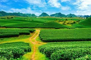 vackra färskt grönt te plantage i moc chau, Vietnam. foto