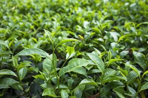 grönt te blad på fältet foto