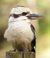 kookaburran foto