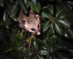borste-svans possum foto