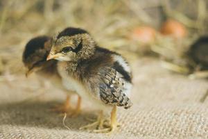 kycklingar foto