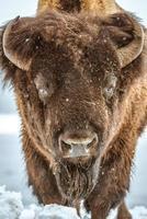 amerikansk bison porträtt foto