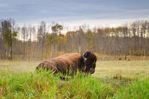 slätter bison foto