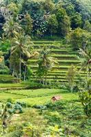 landskap med baliön på risfältet, Indonesien