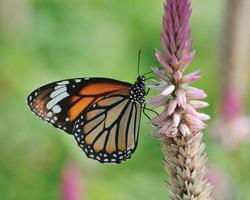 fjäril (vanlig tiger) och blomma foto
