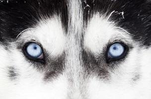 närbild av husky hundblå ögon foto