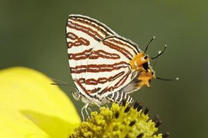 fjäril (liten långbandig silverline), Thailand foto