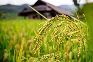 paddies ris på terrasserade fält, Vietnam