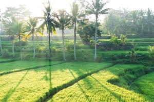 risfält på bali foto
