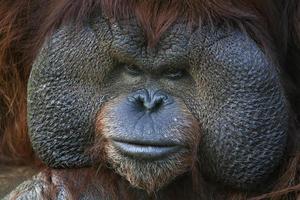 närbild porträtt av en orangutansk man. foto