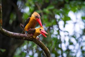 stork-billed kingfisher och brown-winged kingfisher parning foto
