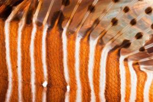 detalj av vanliga lionfish pterois volitans, manado, indonesia foto