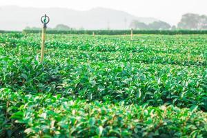 vackra färskt grönt te plantage i Chiangrai Thailand foto