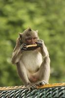 lång-tailed makak som spelar på phnom sampeau, battambang, cambodia foto