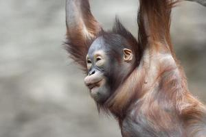 grimas av en orangutansk baby. foto