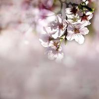 sakura, tempel och blå himmel foto